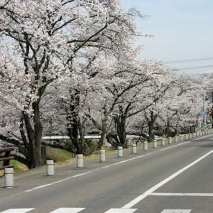 新境川桜並木