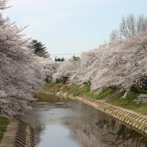 境川の桜並木